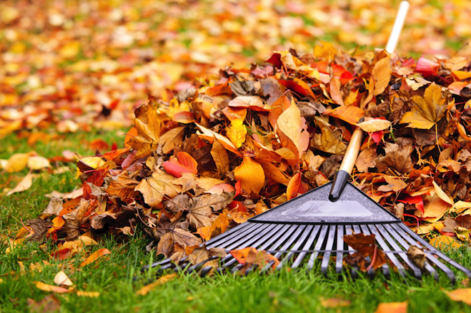 Fall cleanup of leaves on lawn