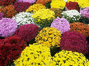 Fall mums in full bloom